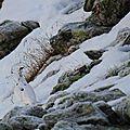 lagopéde alpin 32