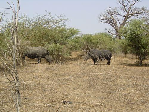 Bataille de Rhinocéros