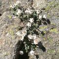 Immortelle des Frimas • Helichrysum frigidum • Asteraceae