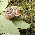 Escargot des bois • Cepaea nemoralis