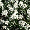 L'edelweïs, symbole des Alpes (j'avoue c'est planté dans un jardin, j'ai pas escaladé !)