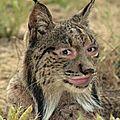 Lynx et <b>caracal</b>.