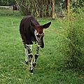 L'<b>Okapi</b>