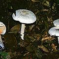 Amanita virgineoides 2000 0929 (2)