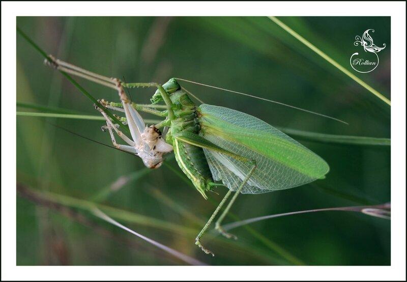 sauterelle verte2