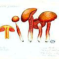 99 Hygrophorus puniceus Hygrocybe punicea l