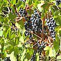 L'ancienneté de la culture de la vigne