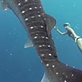 Requin-baleine : de très belles images d'Ocean Ramsay nageant avec un requin-baleine