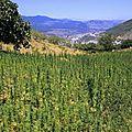 Maroc et afghanistan, premiers producteurs de drogue dans le monde