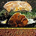 Polypore roux inonotus rheades