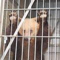 L'ors dins sa gàbia