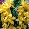 Orchidée Vanilla panifolia variegata