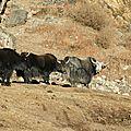 groupe de yaks en vadrouille