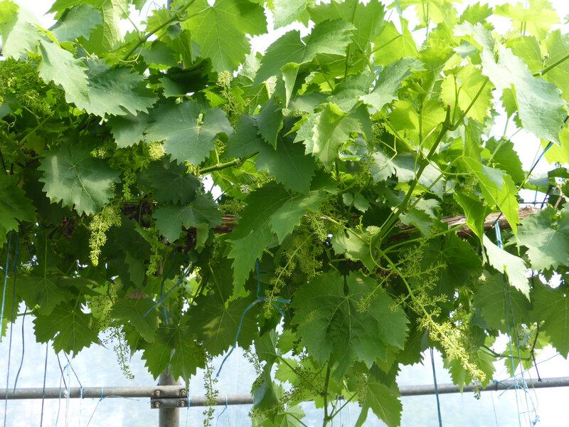 24-vigne (3)