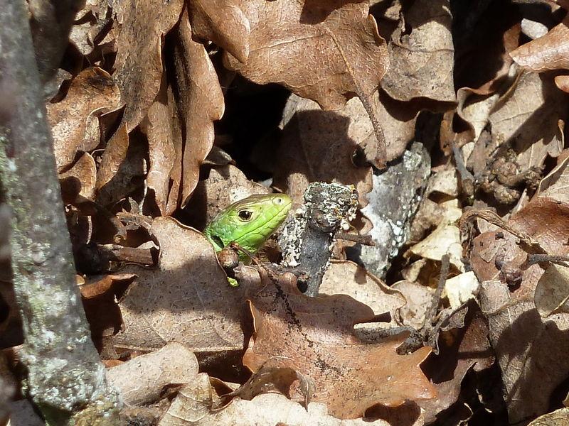 petit lézard vert