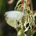 Ascia monuste (piéride craie) - martinique