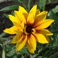 2008 07 27 Une fleur de rudbeckia