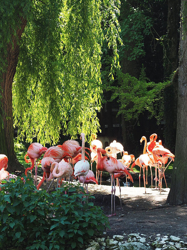 zoo-beauval-animaux-flamands-rose-22