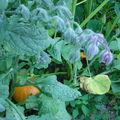 Potimaron et fleurs de bourache