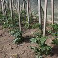 2009 05 25 Mes tomates sous serre que je viens de taillées et tuterées