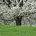 Balade dans les vergers fleuris