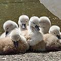 ♥ famille cygnes ♥