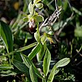 Ophrys lupercalis de malras