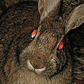 Conejos en la noche