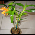 <b>Dendrobium</b> Stardust