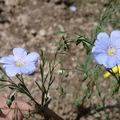 2008 06 12 Deux fleurs de lin bleu