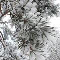 2008 10 30 Branche de Pin sous la neige et le givre