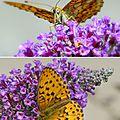 papillon : le nacré de la sanguisorbe