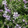 Phlox subulata 'benita'
