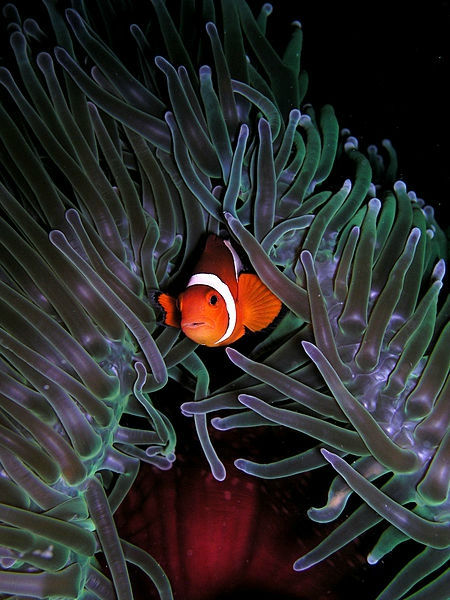 Le poisson-clown/The clownfish