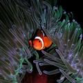 Le poisson-clown/the clownfish