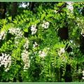 Fleurs d'Acacia 0605156