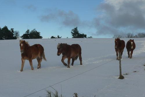 2008 12 30 Quatres chevaux qui marchent dans la neige