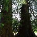 Séquoias géants au parc de la Bourboule