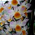 Dendrobium 'Mousmée'