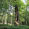 Le vieux chêne cornier de la forêt communale de VOSNON, 10130. Un des plus vieux chênes forestiers de France. 21/07/2019.