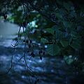 L'Aulne, un arbre sacré