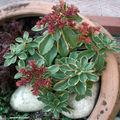 Sedum 'kamtschaticum variegatum'