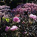 Rosa 'Bouquet Rose' et Sambucus nigra f. porphyrophylla 'Black Lace'