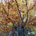 Fayards en automne