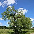 Le murier blanc de Chassignelles, 89160. (Morus-<b>alba</b>). 22 JUIN 2020.
