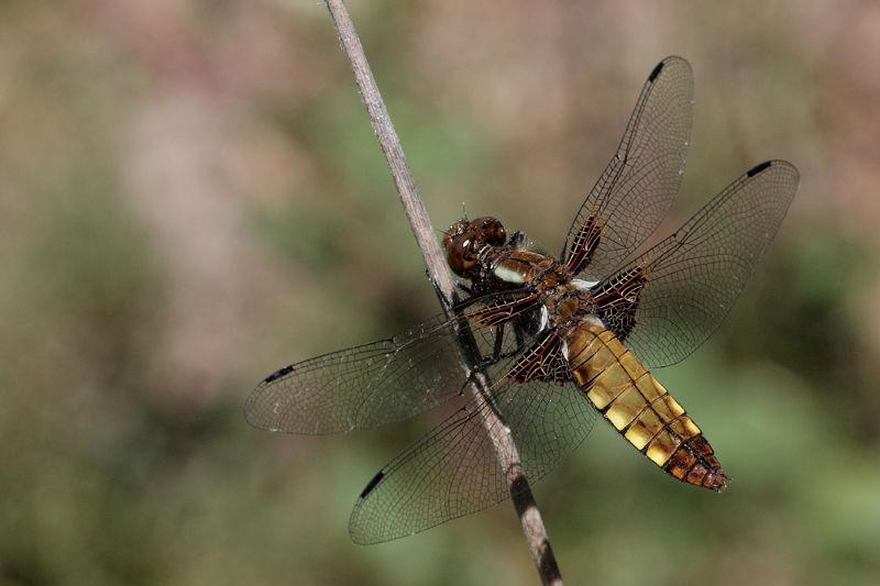 libellula_depressa_femelle