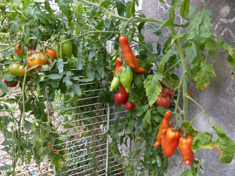 4-tomates, abri tomates (2)