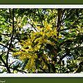 Camélias et Mimosas 260118