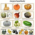Courges, potirons, butternuts et cie