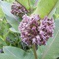 Asclépia en fleurs